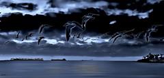 Grey Day in the Bay--in explore (beachpeepsrus) Tags: water westcoast ocean beach birds rynchopsniger beachfront blackskimmers clouds rain eerie