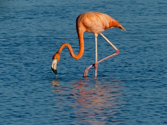 Greater or American Flamingo (Phoenicopterus ruber) (WRFred) Tags: cuba bird nature wildlife