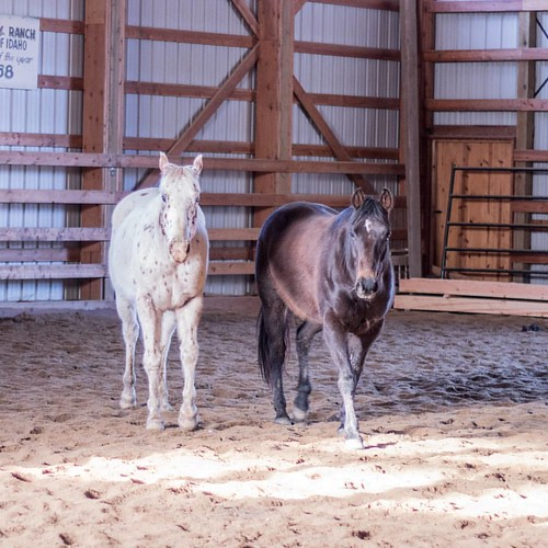 We welcomed two new horses to the ranch yesterday. Introducing Nugget and Magnum! Nugget is the leopard Appaloosa and Magnum is the bay Quarter Horse. They are settling in to the indoor arena and are eager to meet all those horses they can hear outside.