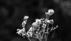 SECO - DRY (jpi-linfatiko) Tags: bn bw blancoynegro blackandwhite blanconegro blackwhite test prueba seco dry flower flor telarañas cobweb arido