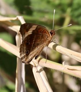 Butterfly, Mamiku Gardens, Mon Repos, Saint Lucia