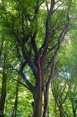 Sunbeams Through Tree (Felicia Brenning) Tags: sunbeams through tree jasmund national park beech forest woods trees nature colors summer sun light sunlight rügen germany sony