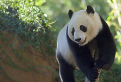 Happy T-Wu's-Day (Rita Petita) Tags: xiaoliwu sandiegozoo sandiego california china panda giantpanda specanimal explore