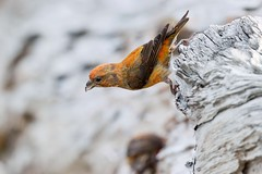Red Crossbill (gorylis) Tags: britishcolumbia westvancouver redcrossbill loxia curvirostra nikond800 gorylis gregorylis
