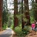 E as primeiras sequoias apareceram