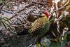 pica-pau-verde-barrado (Colaptes melanochlorus) - macho (Ana Carla AZ) Tags: birds rj aves lugares lidice piciformes picidae picapauverdebarrado colaptesmelanochlorus picapaus