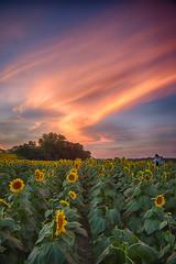 Remembering... (Kansas Poetry (Patrick)) Tags: 911 sunflowers kansas patrickemerson patricklovesnancy