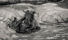 Brothers Love (Darren Berg) Tags: bear blackandwhite bw cub bears explored