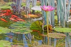 Ridiculousness (Kelly Torian Photography) Tags: lotus houstontexas goldfishpond mercergarden mercerbotanicgarden