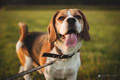 Bruno beagle (Jarecky83) Tags: dog beagle dogs animal 50mm nikon fullframe fx 18g d700 nikond700