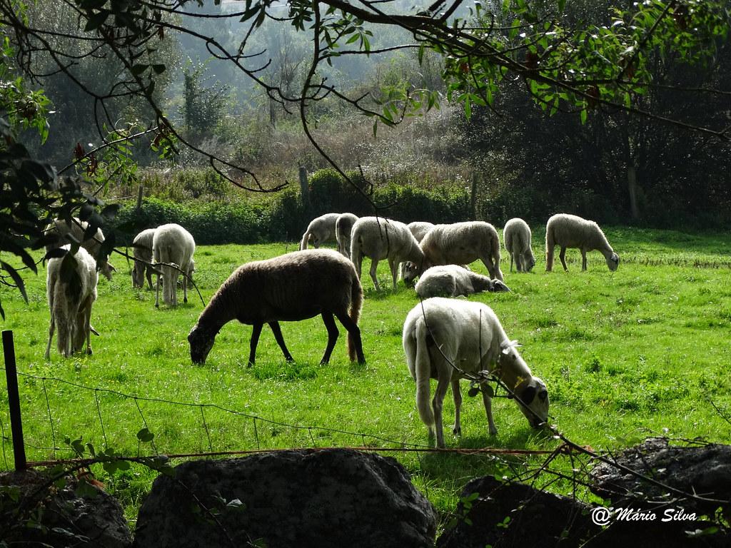 Águas Frias (Chaves) - ... rebanho pastando tranquilamente .. num dia de outono ...