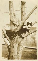 Cats wearing bows (sctatepdx) Tags: cat postcard kitty vintagecat vintagekitty catsinatree