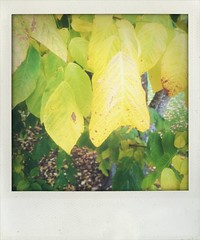 (larsniel) Tags: tree fall leaves yellow faded colder