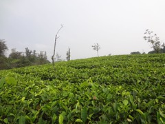 Tea Plantation Valley in Vagamon (Anulal's Photos) Tags: tea camellia teaplantation camelliasinensis chay tealeaves teatree tealeaf teaplant theaceae teavalley teashrub teavally vagamontea vagamonteaplantation teaplantationvagamon teafoliage teaplantationvalley vagamonvally vagamonteavalley
