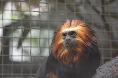 Golden Headed Lion Tamarin (vbvacruiser) Tags: washingtondc districtofcolumbia primate tamarin smithsoniannationalzoologicalpark goldenheadedliontamarin