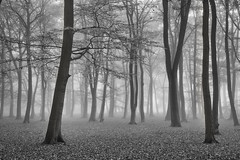 Misty Mono - Surrey Woods (Christopher Pope Photography) Tags: bw aldershot autum beech beechtrees blackwhite christopherpope fog forest mist mono nikond610 sunrise trees woods