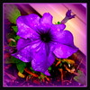 Koyaanisqatsi (milomingo) Tags: plant flower nature wet water rain contrast garden square flora purple blossom vivid drop petal bloom petunia multicolored horticulture koyaanisqatsi