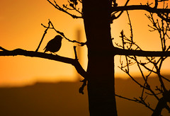 Winter Silhouette (jamiegaquinn) Tags: orange tree bird robin silhouette sunrise iplymouth