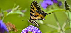 The Tiger Swallowtail Butterfly (swong95765) Tags: plant beautiful beauty butterfly insect bokeh tiger swallowtail radient