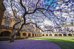Jacaranda in the Quad (Leighton Wallis) Tags: flowers tree silhouette purple sony sydney australia fallen nsw bloom newsouthwales jacaranda alpha quadrangle universityofsydney f40 uos 1635mm mirrorless a7r emount ilce7r