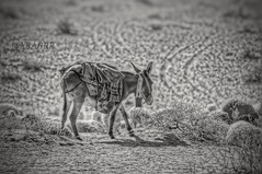 #petsandanimals #photography #nature #hdr #love #freetoedit #food  #animal  #blackandwhite bw #animals #Sheep #lamb #donkey #donkeys # # # # # # # Sonyalpha #sony #alpha  #qaseem # # # #_ (photography AbdullahAlSaeed) Tags: blackandwhite food love nature animal animals photography sheep donkeys sony donkey lamb alpha hdr  petsandanimals    qaseem       freetoedit
