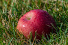 Fallen Apple (R3D_Photography) Tags: morning red ny newyork apple ground dew fallen greass r3dphotography raysheleyiii