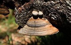 Champignons Polypore (escaledith) Tags: nature polypore arbre fort bois champignons anomalies bizarerie