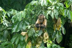 Macaco-prego (Sereiazinha Si) Tags: brazil animal brasil zoo monkey sopaulo macaco behavior rvore sorocaba cebus macacoprego comportamento forrageamento cebusxanthosternos zoodesorocaba forrageio macacopregodepeitoamarelo