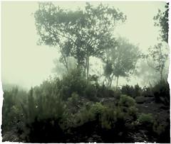 neblina (rana_323) Tags: rboles neblina lapalma vegetacion lapina conducechano