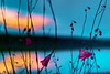 Sunset Exception (PokemonaDeChroma) Tags: sunset lake reflection wildflower bluebell harebell turquoise hdr 3exposures canon canoneos500d france lakeside silhouette bracketting sky water cloud serenity yellow magenta pink november 2016 vibrant bright 2015