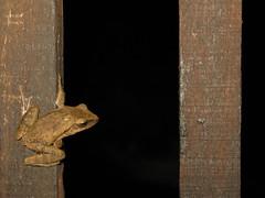 布氏樹蛙 (liuru1016) Tags: ncyuecophoto2016 myfavorite 布氏樹蛙 白頷樹蛙 animalia chordata amphibia anura rhacophoridae polypedates polypedatesbrauerivogt1911 brauer'streefrog 樹蛙 水池 taiwan hsinchu