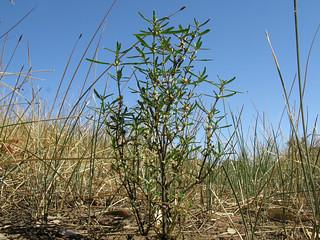Alternanthera denticulata plant15 CWS