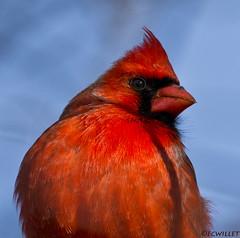 011517145174asmweb (ecwillet) Tags: cardinal wildwoodparkharrisburgpa harrisburgpa nikon nikond7100 nikon200500f56 ecwillet ericwillet