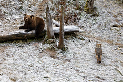 Brown Bear vs Gray Wolf (My Planet Experience) Tags: brown bear ursusarctos wolf gray grey timber canislupus lupus loup wild wildlife wilderness mammal animal nature natural nopeople day frost snow winter colorimage outdoors species endangered iucn redlist myplanetexperience wwwmyplanetexperiencecom