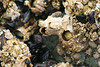 Barnacles and mussels at low tide, Long Beach, Pacific Rim Park, Vancouver Island, Vancouver, BC (Jim 03) Tags: long beach largest longest pacific rim national park vancouver island bc wickanninish bay tofino ucluelet fog bulb kelp barnacles mussels forest jim03 jimhoffman jhoffman jim wwwjimahoffmancom wwwflickrcomphotosjhoffman2013