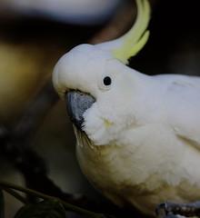 Sulphure-crested Cockatoo