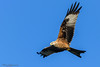 Kite at harewood-24 (mido2k2) Tags: mido2k2 fantastic villager explore flickr redkite red kite flight bird avian feathered raptor prey hawk falcon hunter carrion soar awesome stunning nikon d5300 sigma 150500mm west yorkshire muddy boots harewood photography nature natural wild wildlife ornithology animal outdoor eagle