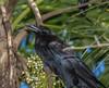 Cuban Crow (Corvus nasicus) (NigelJE) Tags: matanzas cuba cubancrow crow corvusnasicus corvus corvidae corvid nigelje playalarga zapata bird animal