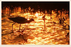 Shadow in the golden sunset (C. Alice) Tags: water light orange nature hongkong 2016 canonef300mmf4lisusm canoneos7d eos7d canon 300mm wetland reflection bird shadow favorites30 favorites50 autofocus aatvl01 aatvl02 favorites100 2000views 1500v60f 3000views aatvl03 3000v120f
