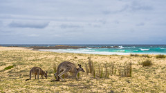 Kangaroo's, limit of their range, south coast, NSW. (Steve J Chivers) Tags: kangaroo coast beach gillardsbeach mimosarocksnationalpark nsw australia tathra bermagui sea ocean sand rocks joey