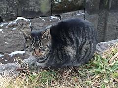 IMG_0822 Goryokaku - stray cat #1 (drayy) Tags: japan hokkaido hakodate goryokaku fortress samuraiwars meiji restoration thebiggestgroupwithonlycats ggg 五稜郭 城郭 日本 函館 北海道 旅行