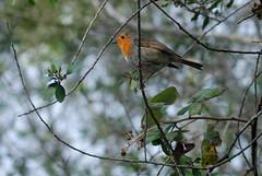 DSC_7311D4 (Montse Ponsa) Tags: aiguamolls aus aigua vegetacio ocell birds gi girona catalunya emporda