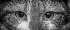 Cat's eyes - kattenogen (schreudermja) Tags: cat kat poes pussy ogen kattenogen catseyes catseye closeup portrait martyschreuder nikond800e thenetherlands nederland breda hair haar vacht coat