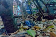 Shedd Aquarium (The World Famous Andrew of the Jungle) Tags: chicago illinois shedd aquarium marine animals winter january 2017 blue frog amphibian tropical