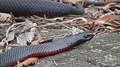 Pseudechis porphyriacus_2 (Tony Markham) Tags: pseudechisporphyriacus redbelliedblacksnake thirlmerelakesnationalpark lakenerrigorang thirlmerelakes elapidae snake reptile friendsofthirlmerelakes
