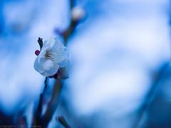 White Japanese appricot blossom (gemapozo) Tags: kameido tokyo 645z pentax japaneseapricot japan blossom 江東区 東京都 日本 jp smcpentaxa645120mmf4macro 亀戸天神 白梅 ウメ