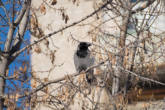 Raven on the tree (CHEPurgen) Tags: bird winter raven fauna sony