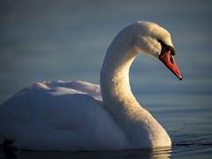 (Samuli Koukku) Tags: swan muteswan bird animal wildlife wild gygnusolor kyhmyjoutsen finland helsinki seurasaari sunrise outdoor canon 1dx2 nature