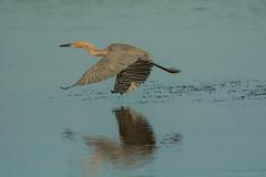 Keeping a low profile {Explored} (ChicagoBob46) Tags: reddishegret egret bird jndingdarlingnwr florida sanibel sanibelisland nature wildlife explore explored