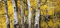 In the Apen Grove (Geyser Gary) Tags: aspens7476 tetonaspens aspens september 2016 fall autumn thebesttimeoftheyear
